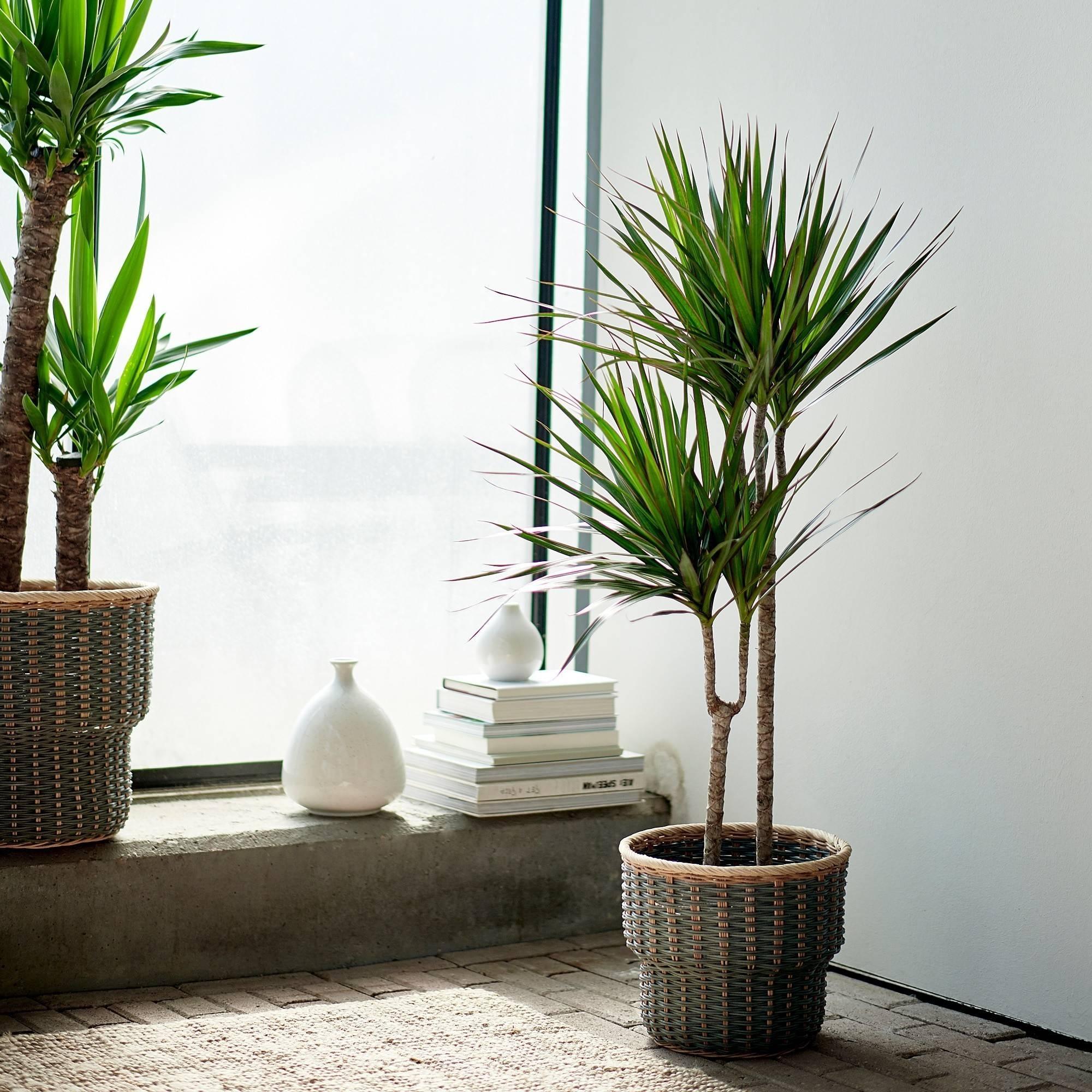 Пальма арека — как ухаживать за растением