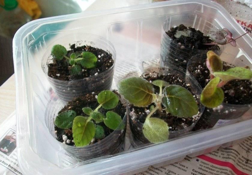 Инструкция по пересадке и рекомендации по выращиванию глоксинии