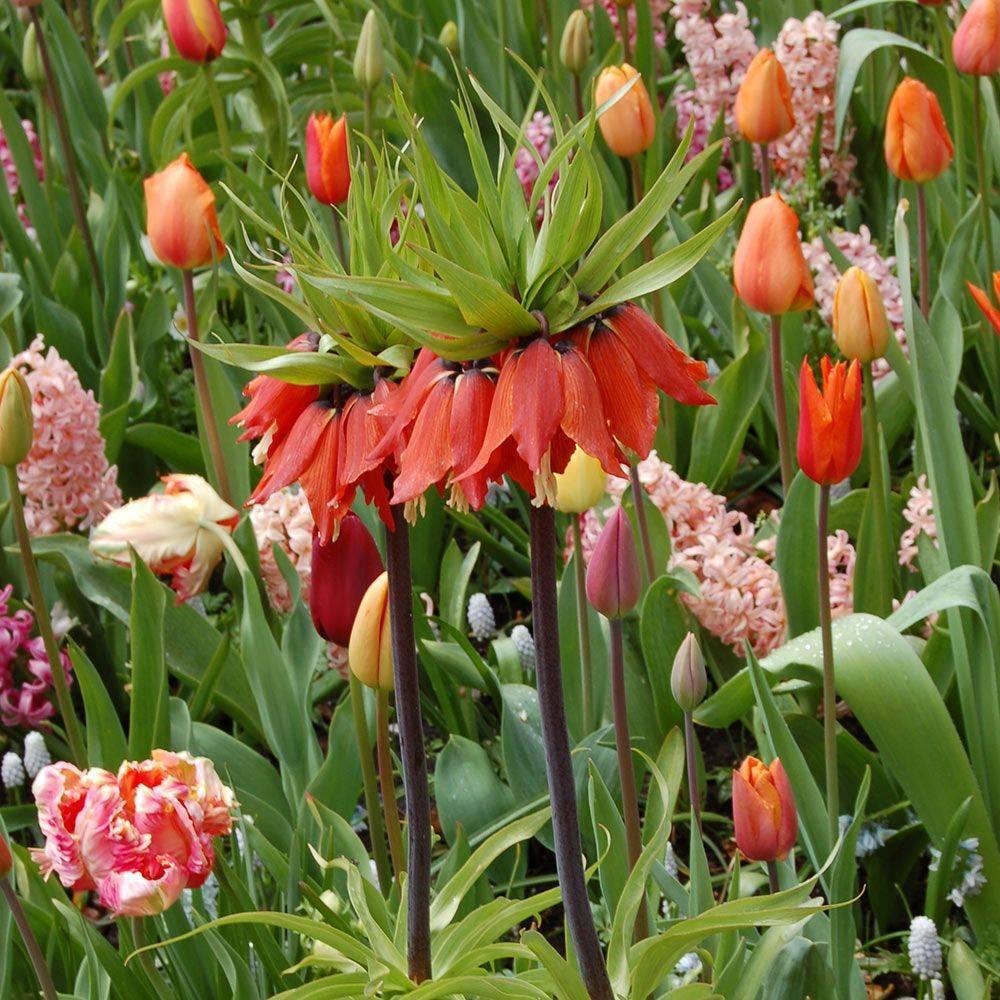 Описание луковичных цветов: многолетние, ранние, зимостойкие, садовые и домашние