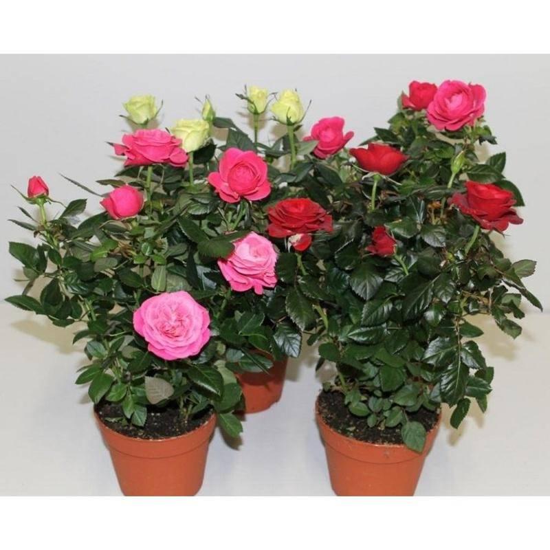 Разновидности прелестной розы микс. особенности выращивания и ухода за цветком в домашних условиях