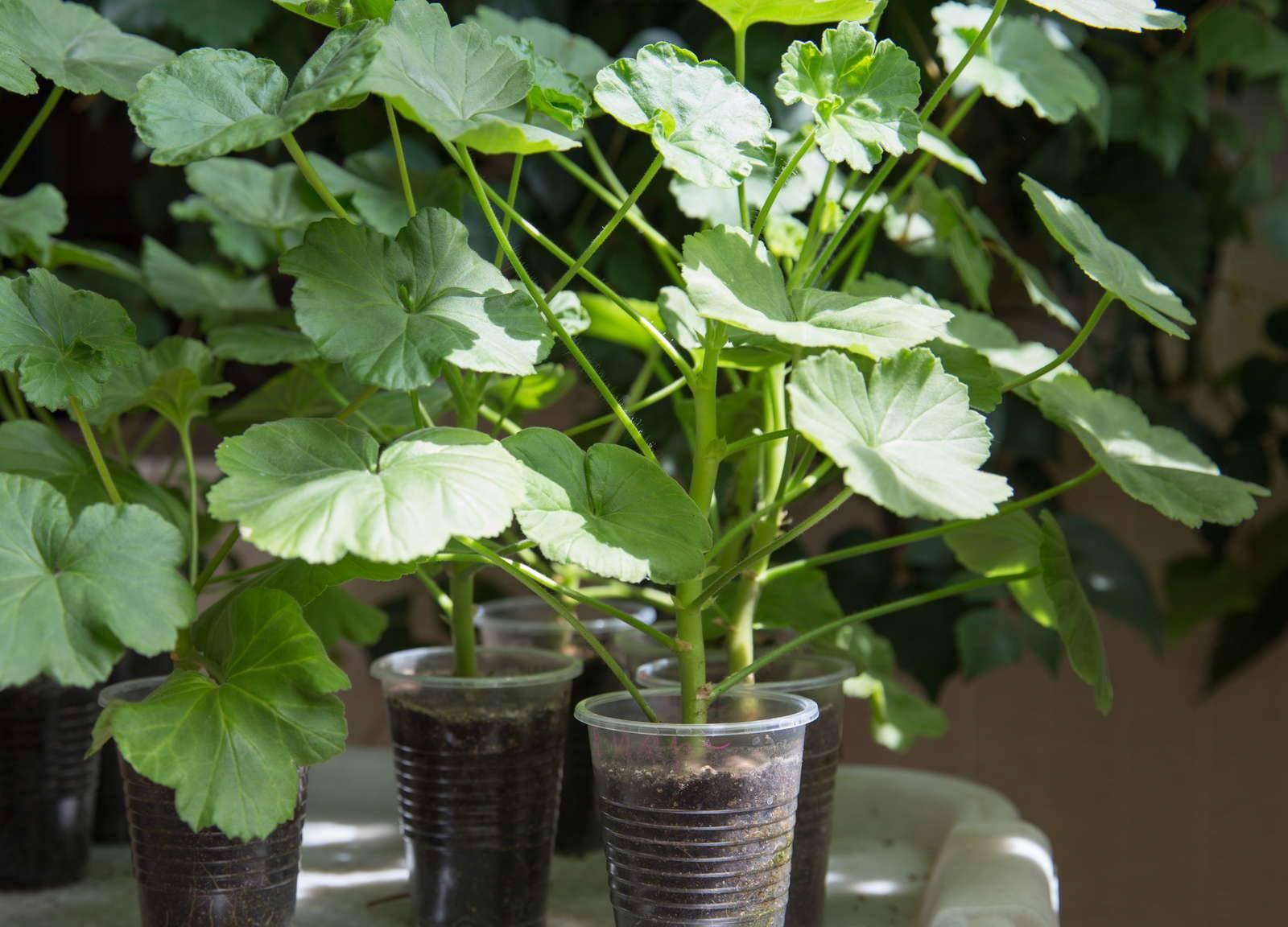 Размножение герани черенками в домашних условиях: как размножить пеларгонию черенкованием зимой в феврале? когда размножать цветок весной? как укоренять и рассаживать в горшки?