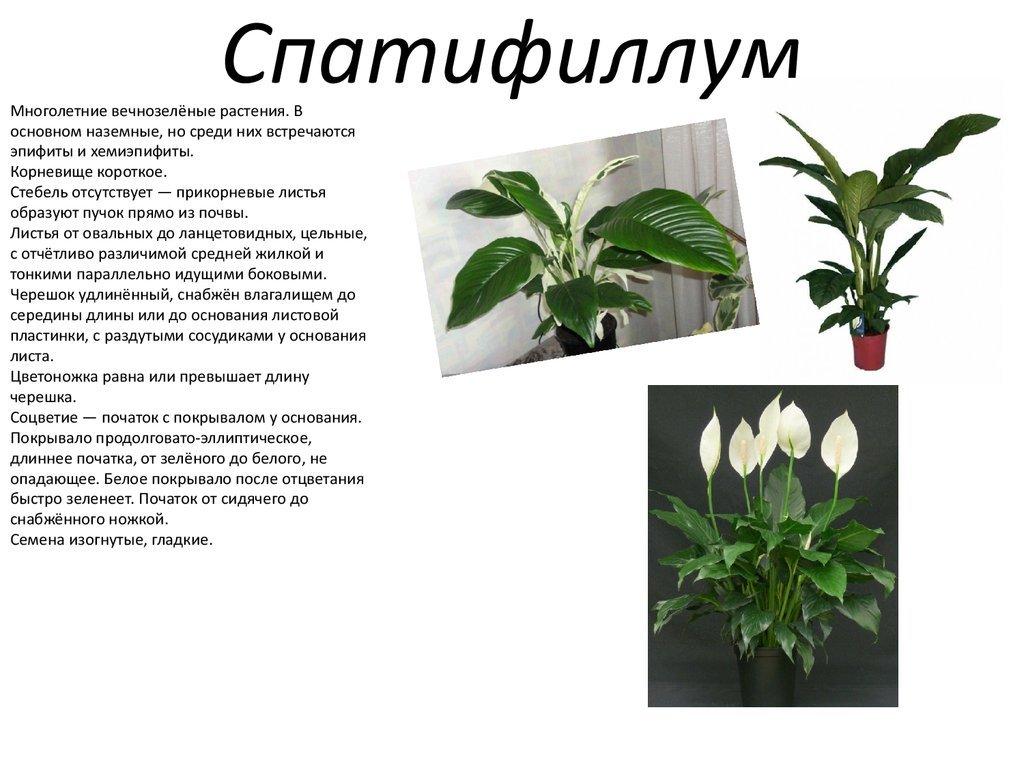 цветок спатифиллум — уход в домашних условиях, секрет успеха