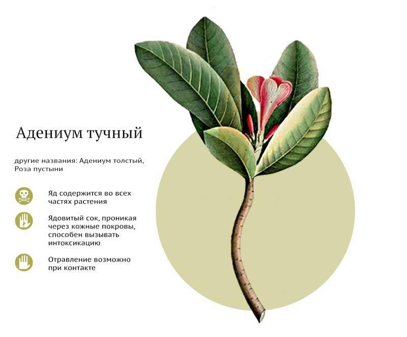 Ядовитые комнатные растения (фото и названия): 10 самых опасных растений, которые не стоит держать дома! - «ландшафтный дизайн»