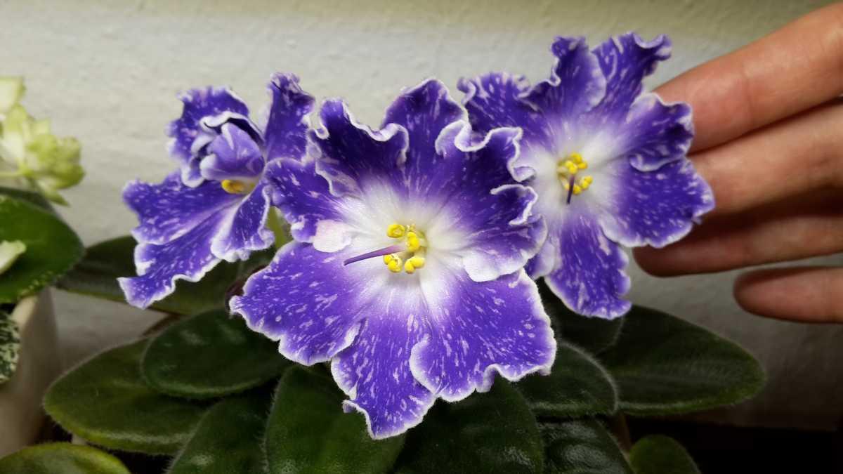 Фиалки (76 фото): как выглядит комнатная узамбарская фиалка (сенполия)? особенности ухода в домашних условиях, посадка и описание растения