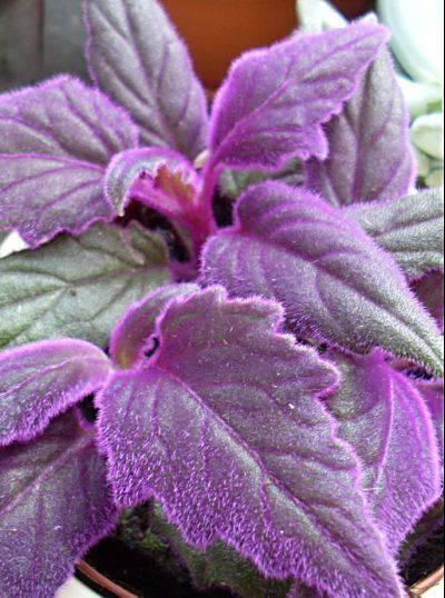 Комнатный цветок фиолетовый