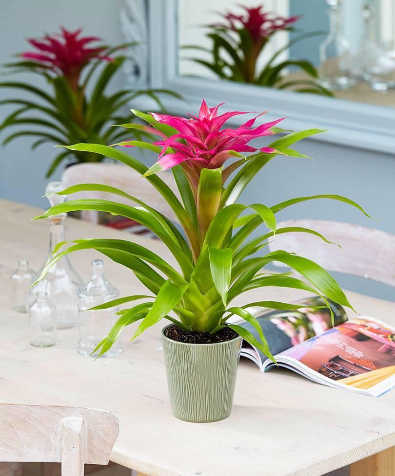 Уход в домашних условиях за бромелией - посадка и уход за бромелией, выращивание, полив и болезни растения