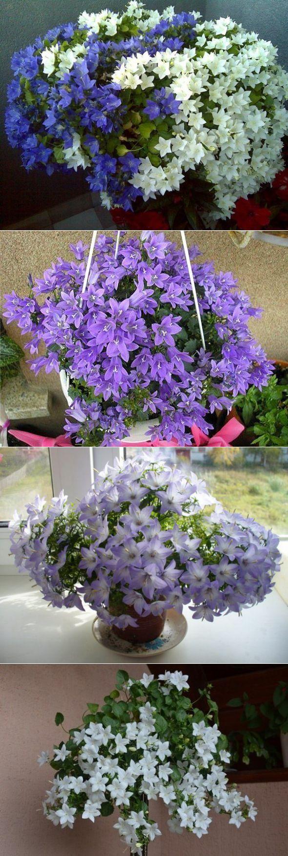 """Цветок """"невеста"""": уход в домашних условиях, описание, особенности выращивания. цветок кампанула"""