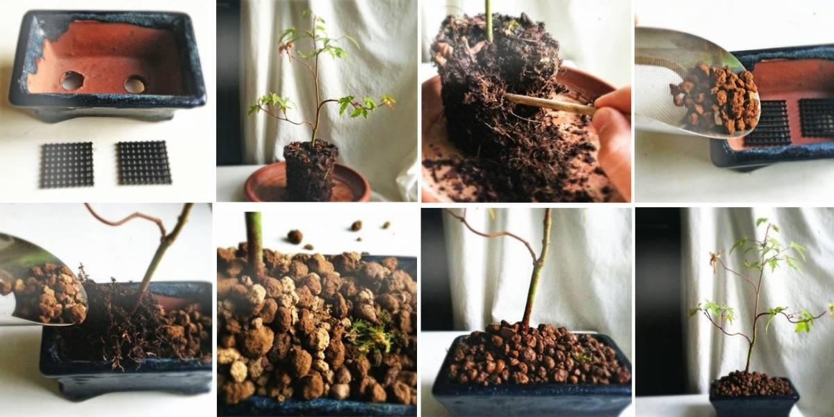 Своими руками выращиваем бонсай в домашних условиях из фикуса, можжевельника