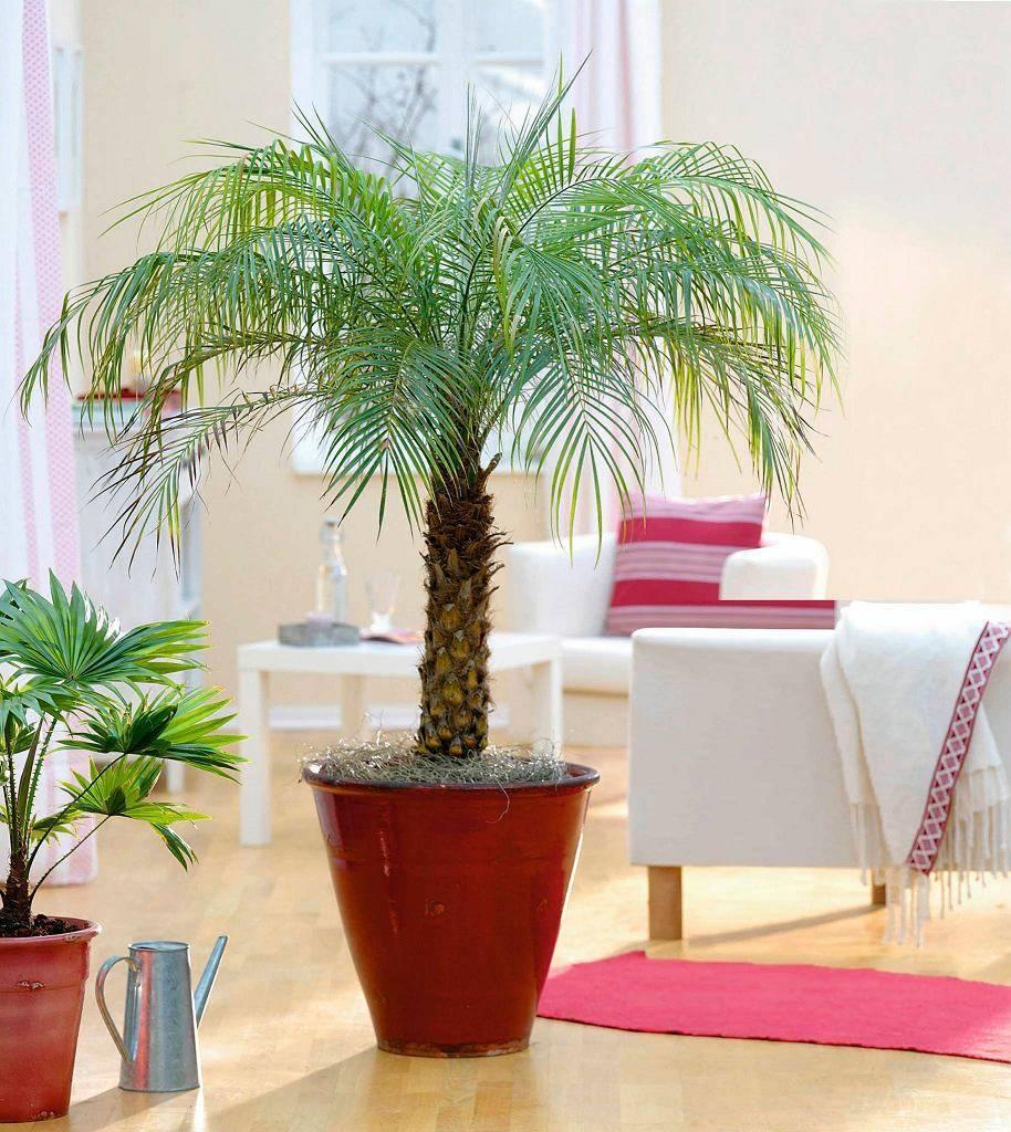 Уход за пальмой арека в домашних условиях: как посадить цветок areca palm