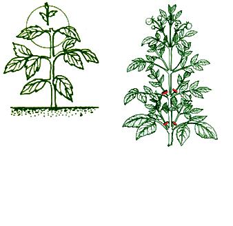 Вся правда о пасынковании и прищипывании помидоров