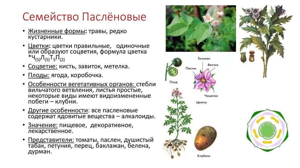 Пасленовые овощи — список названий растений