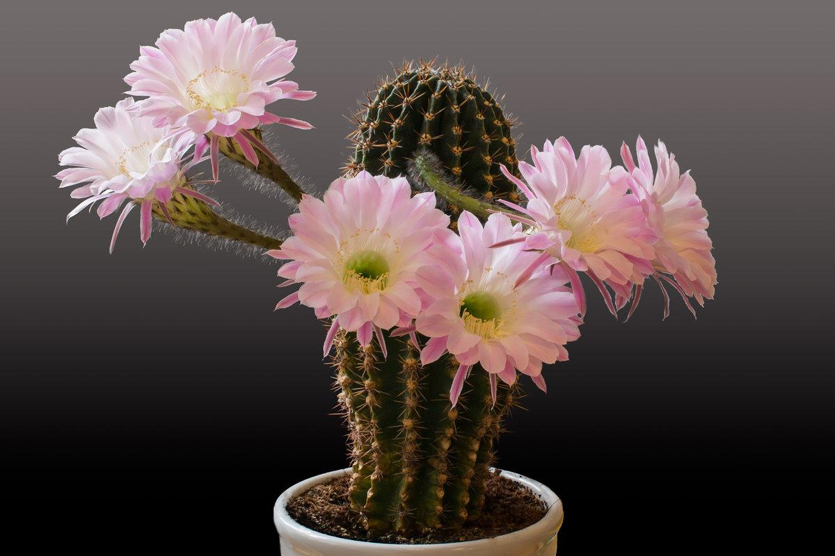Растение кактус: особенности строения и характеристика