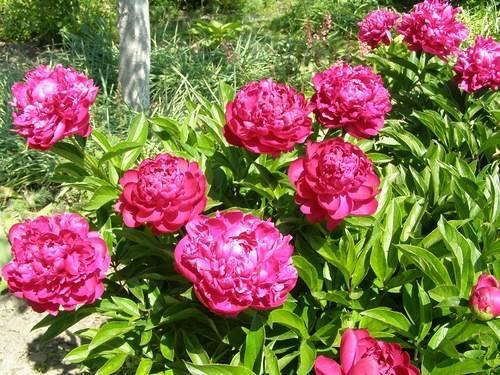 Пион «феликс краусс» (12 фото): описание цветка, особенности его выращивания