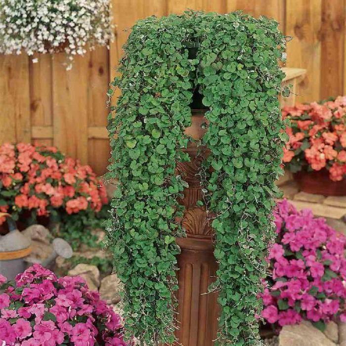 Дихондра сорта серебристый водопад: особенности выращивания и использование в садовом дизайне