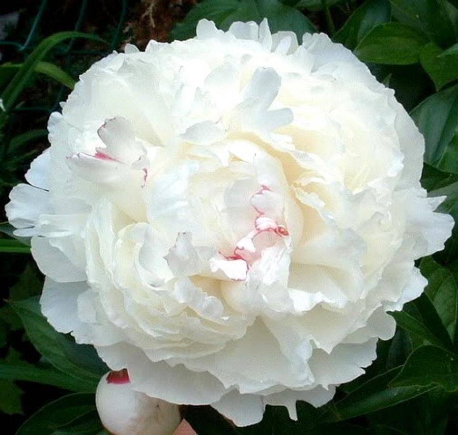 Пион молочноцветковый: описание сортов, выращивание из семян, посадка и уход в открытом грунте