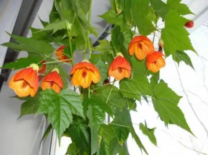 Абутилон или комнатный клен: уход в домашних условиях, размножение