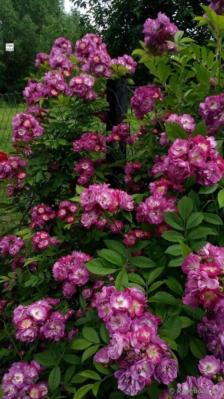 Голубая роза – существует ли, описание сорта, как вырастить плетистую розу