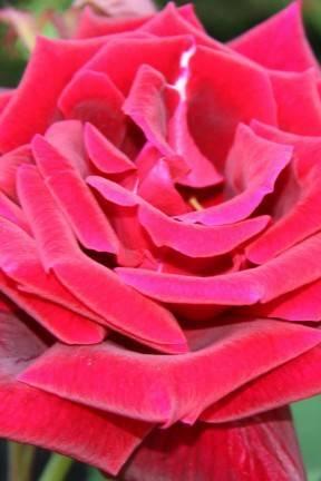 Яркие краски для дома и клумбы: обзор сортов роз оранжевого цвета с фото