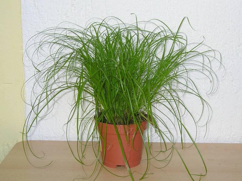 Циперус: выращивание из семян, размножение и пересадка, виды, фото