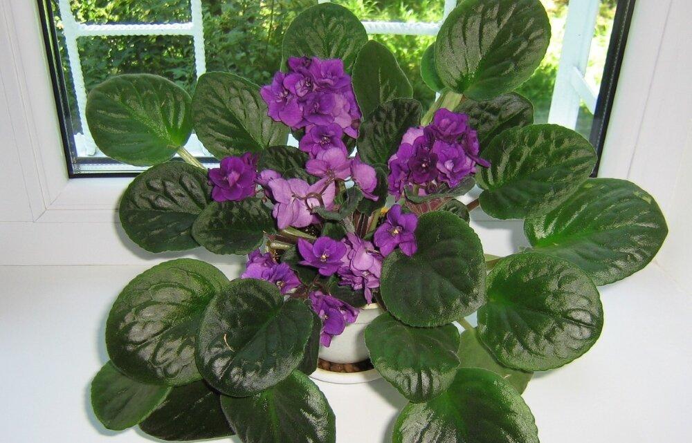 Любимые фиалки не цветут? что делать, как ухаживать за капризным растением?