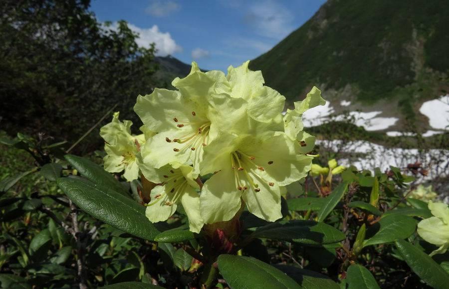 Описание и лечебные свойства золотистого рододендрона