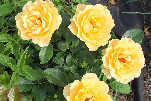Роза Амбер Куин (Amber Queen)