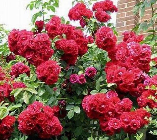 Роза фламентанц: описание, посадка и уход