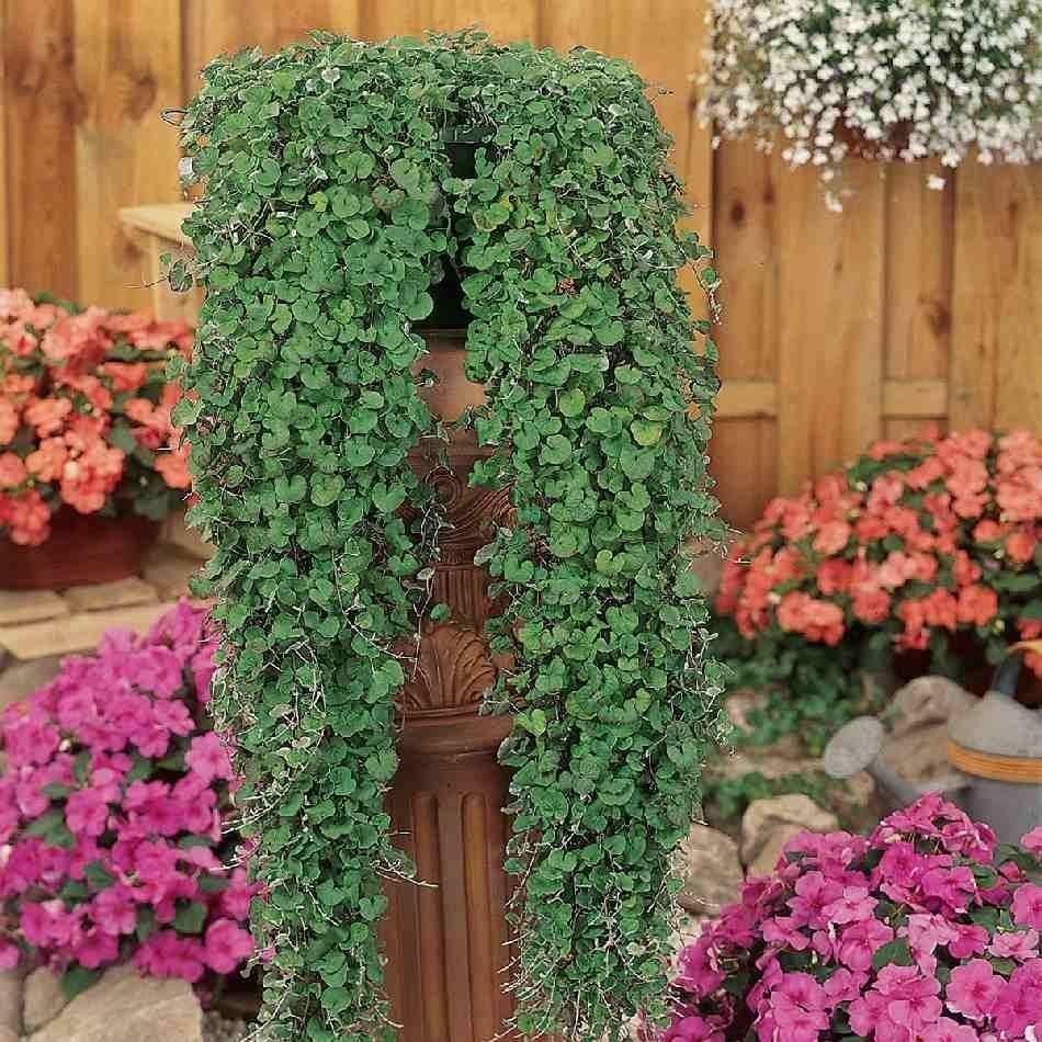 Дихондра «изумрудный водопад»: выращивание из семян
