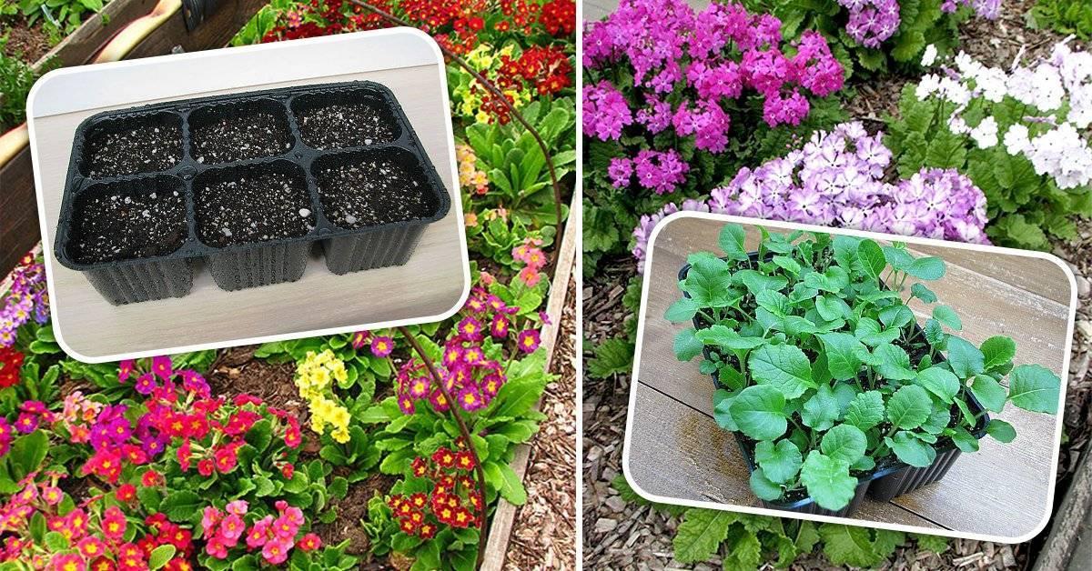 Цветок примула садовая многолетняя: фото, описание, как ухаживать за примулами, какие бывают виды примул