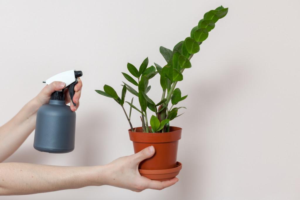 Почему не растет замиокулькас в домашних условиях