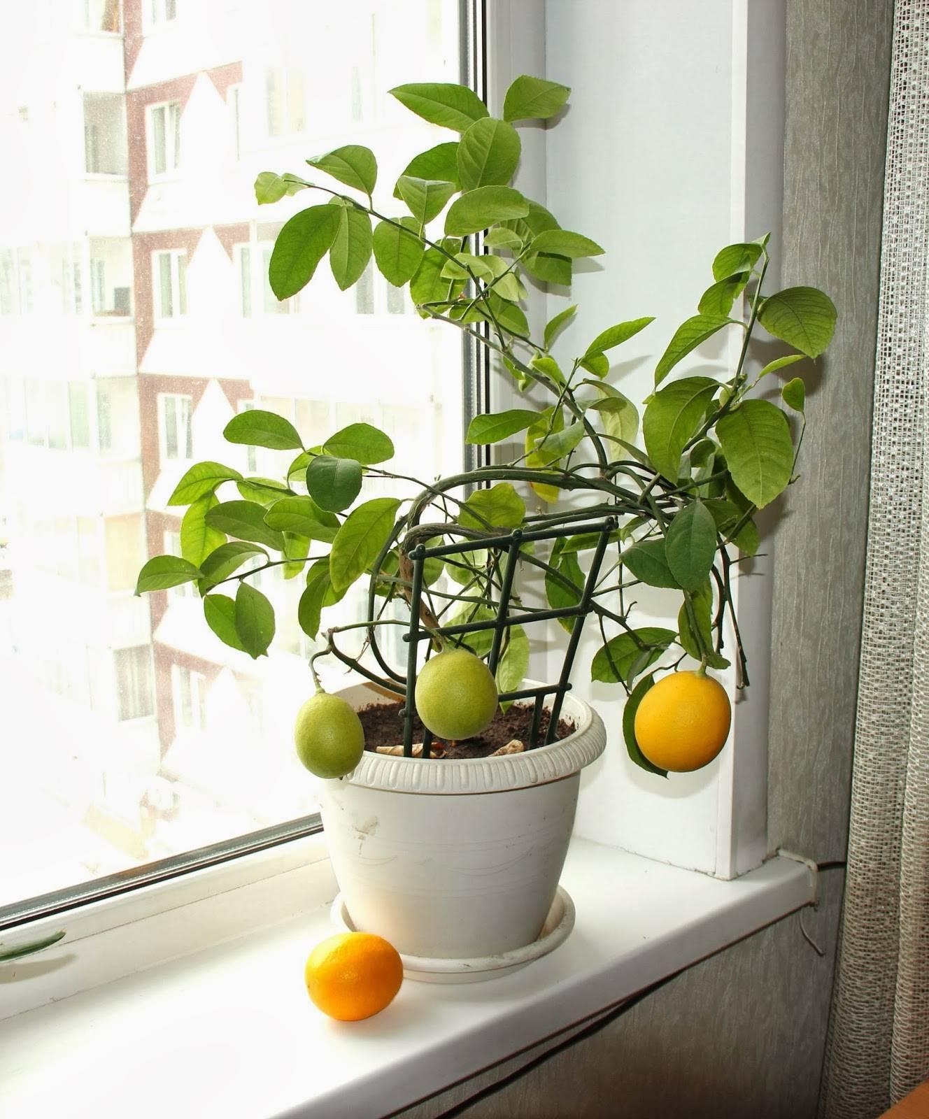 Разведение лимонника китайского