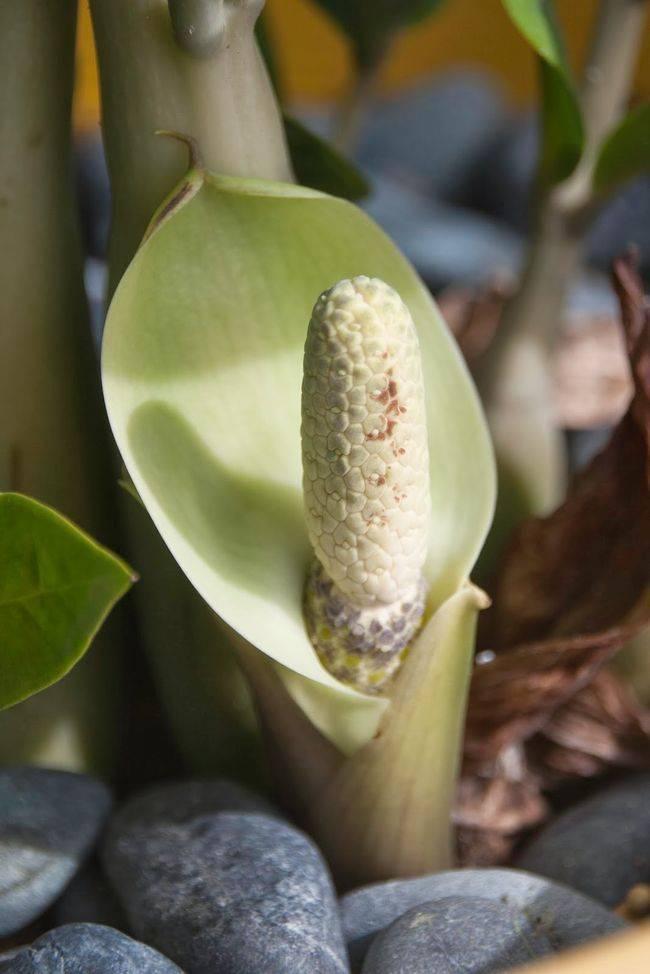 Замиокулькас: как выглядит и как выращивать