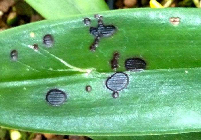 Болезни листьев орхидей фаленопсис и их лечение: фото пузырьков и белых пятен, рыхлого налета, почему краснеют и опадают, что делать, как восстановить тургор тканям?