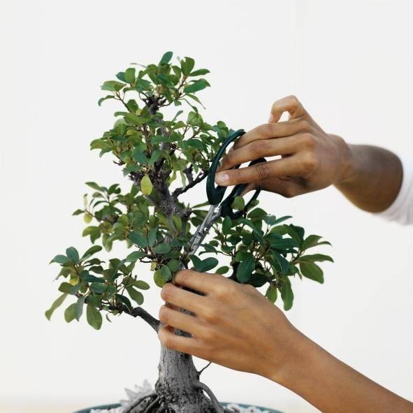 Уход за бонсаи в домашних условиях: обрезка дерева, полив, и подкормка растений