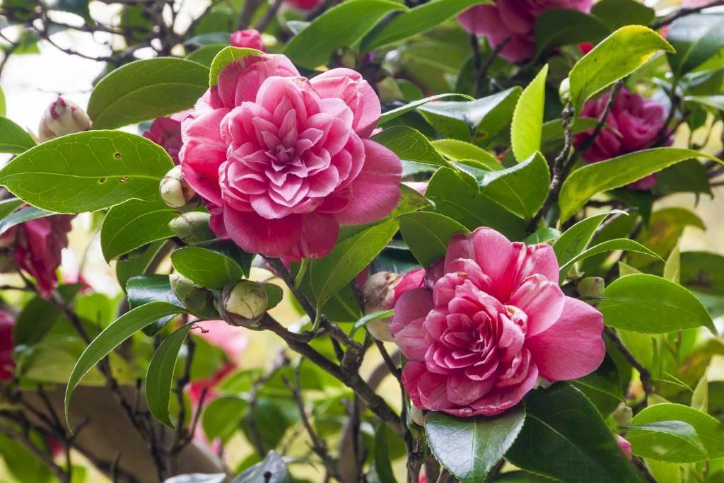 Цветок камелия (лат. camellia): сорта, размножение, уход, лечение