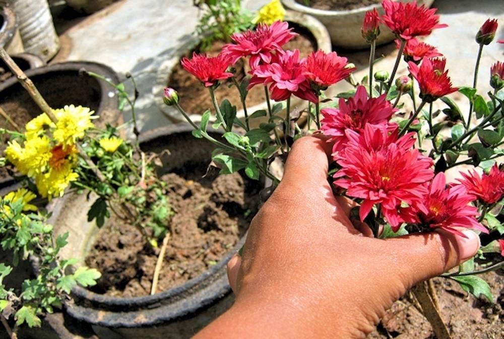 Прекрасные многолетниые хризантемы: посадка и уход