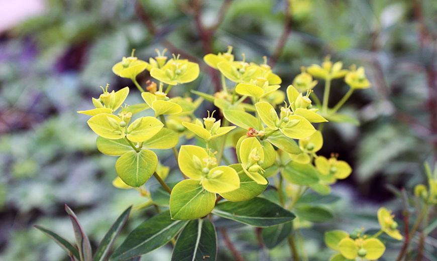 Молочай окаймленный - характеристики цветка с фото, выращивание из семян