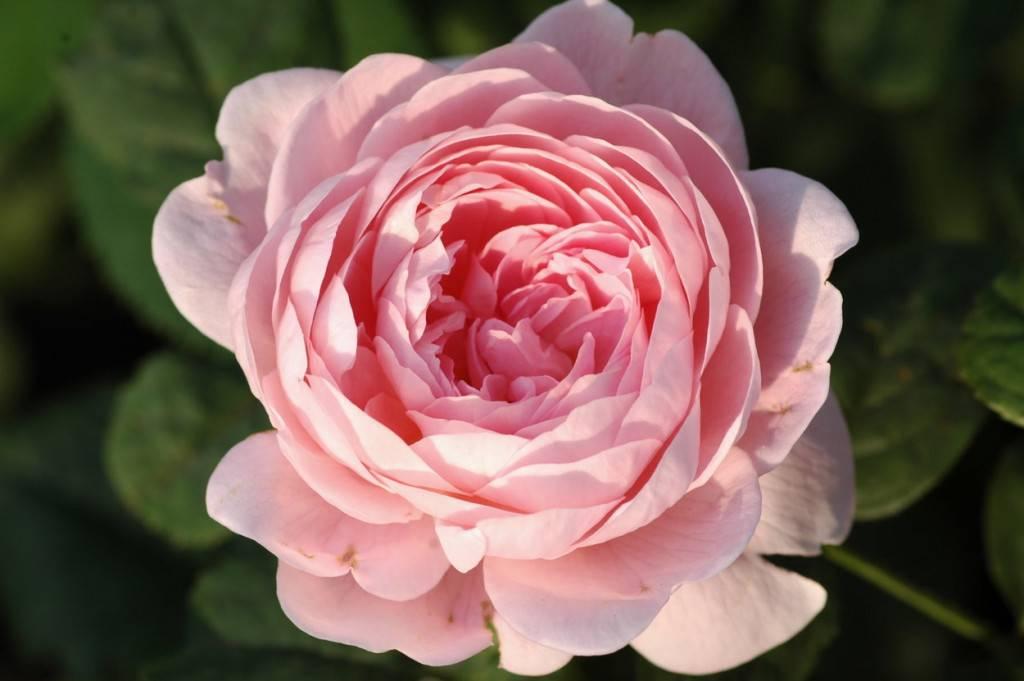 Канадские розы: фото сортов, морозостойкость селекции