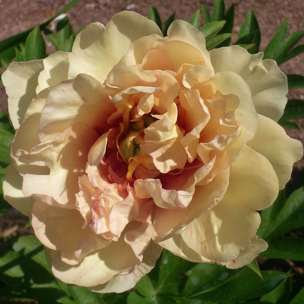 Пион этчед салмон (paeonia etched salmon)