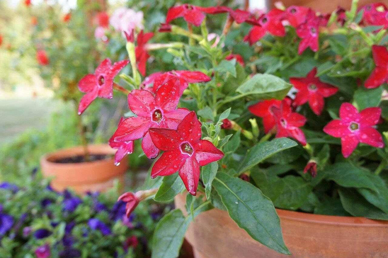 Душистый табак — выращивание цветка из семян