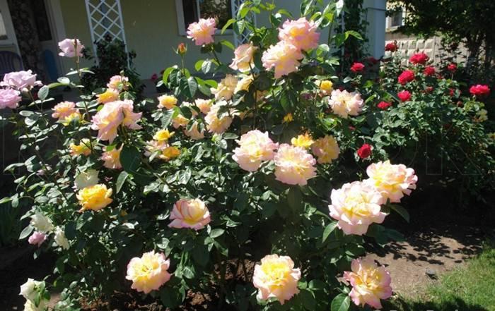Размножение роз черенками   о розе