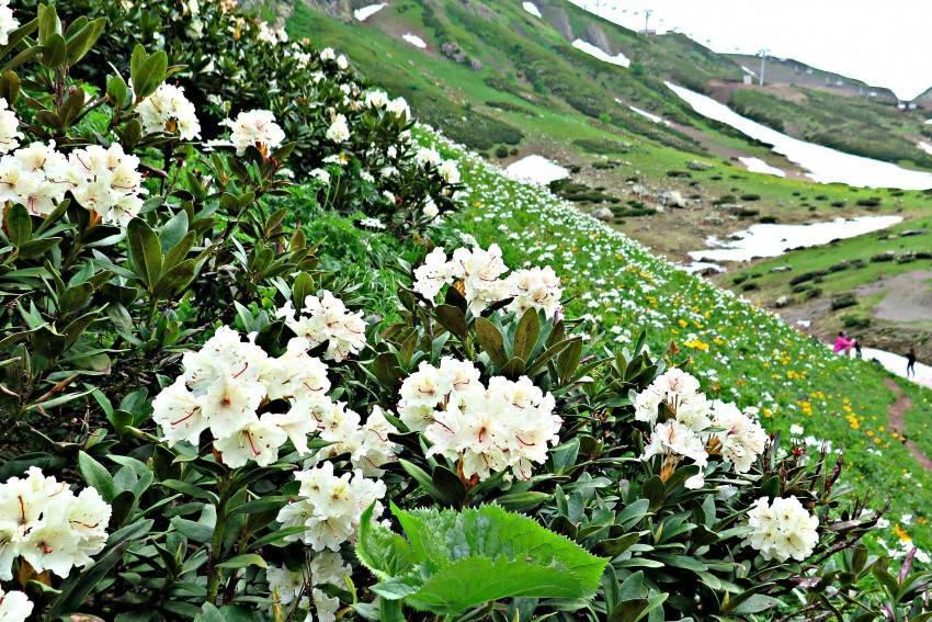 Рододендрон золотистый (кашкара): фото, лечебные свойства, противопоказания, чем полезно растение, применение в медицине и гомеопатии