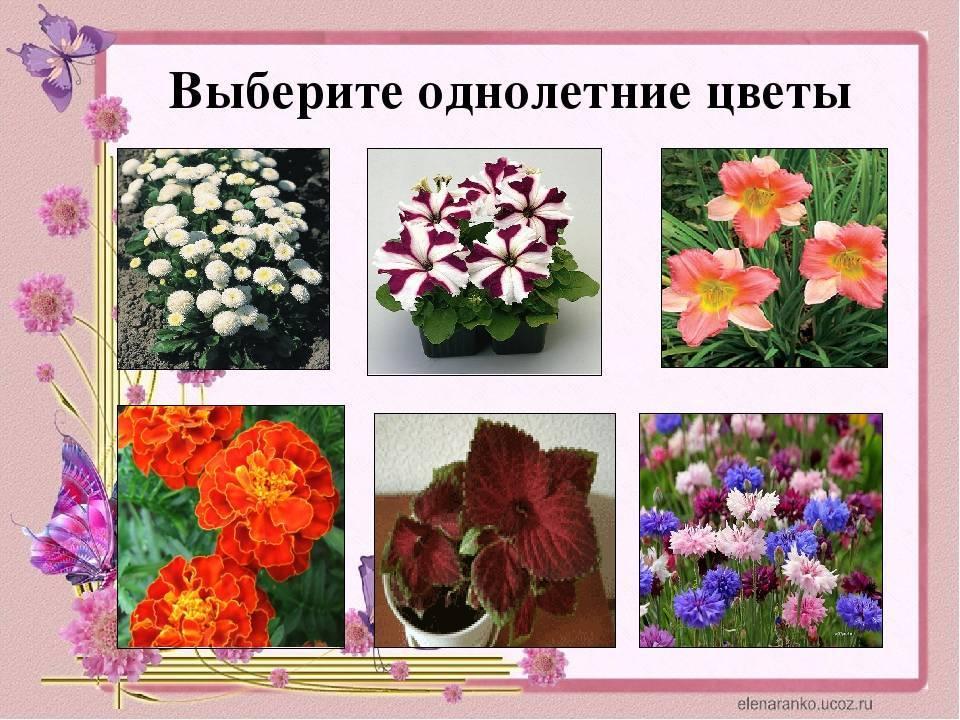 Фиалки многолетние садовые (анютины глазки): посадка, уход в открытом грунте, описание видов и сортов