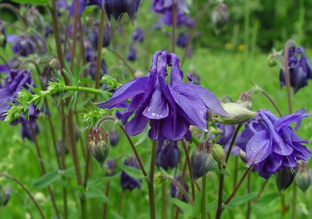 Аквилегия aquilegia - описание, посадка, выращивание и уход, место в саду