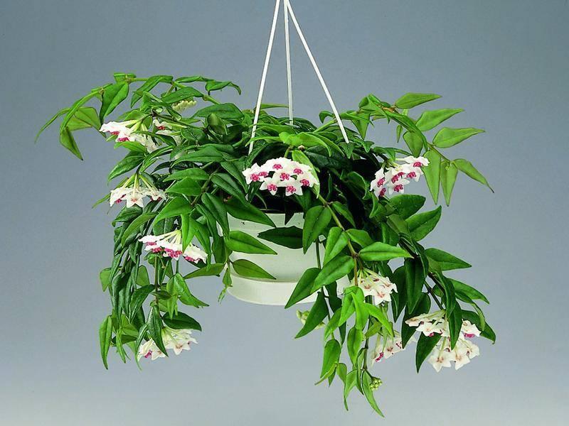 Хойя (восковой плющ): можно ли держать цветок дома?