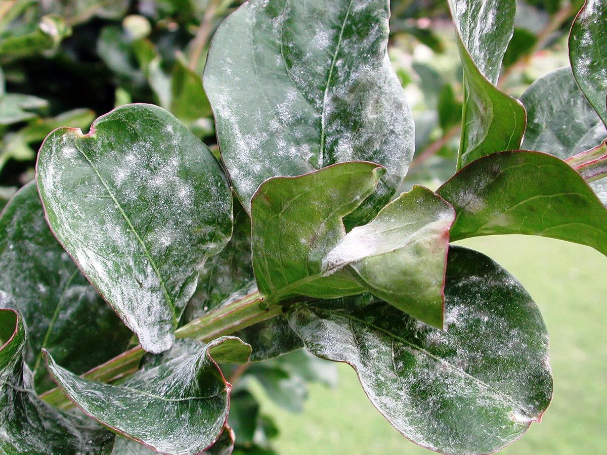 Чем обработать флоксы от мучнистой росы, как бороться с белым налетом