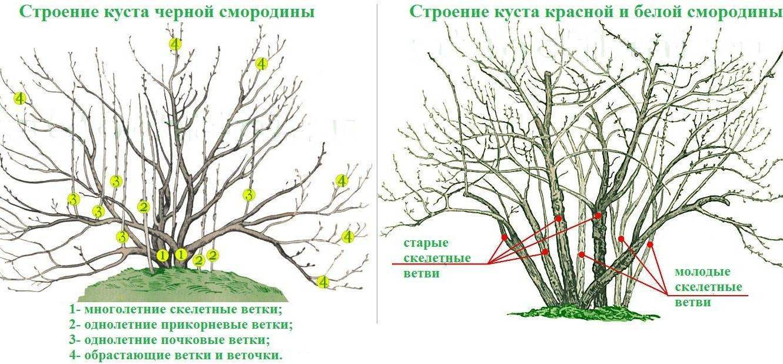 Правила обрезки и формирования барбриса после цветения: как омолодить, сформировать