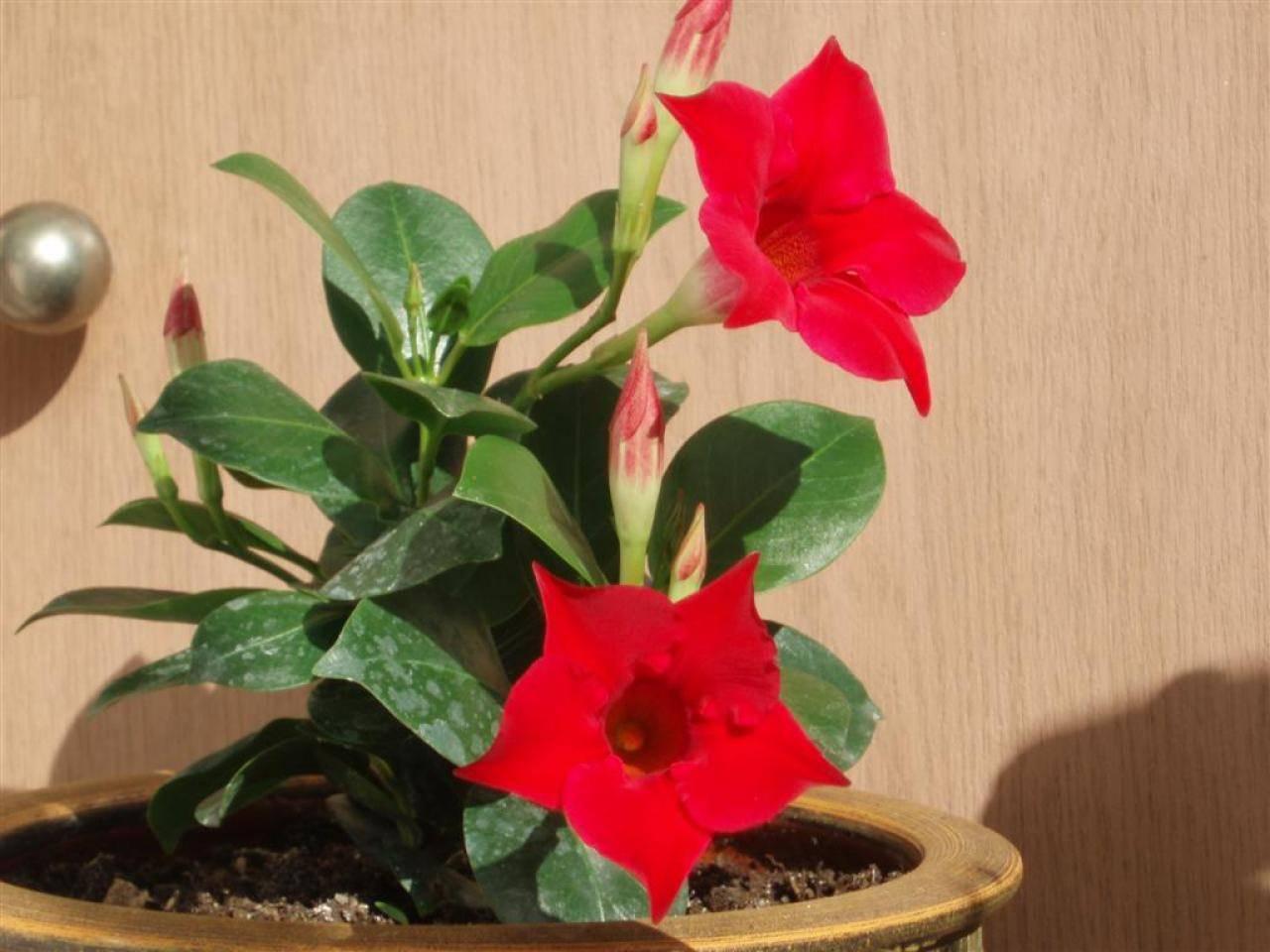 Мандевилла (mandevilla) — описание, выращивание, фото | на leplants.ru