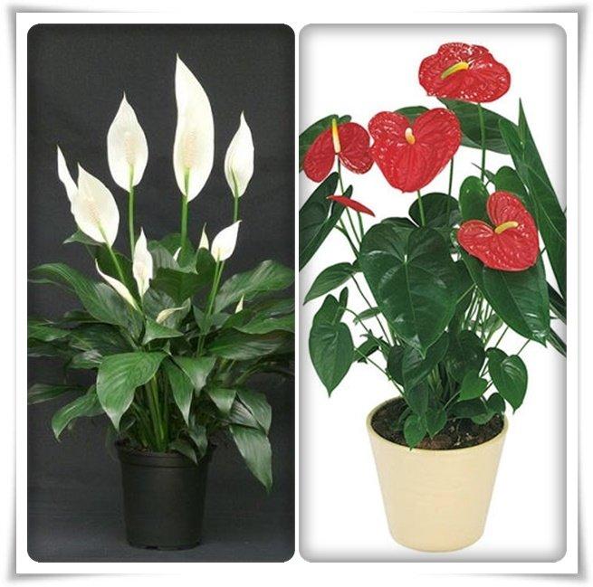 """Чернеют цветки у спатифиллума: почему """"женское счастье"""" теряет красоту, что делать, если темнеют кончики, как спасти растение?"""