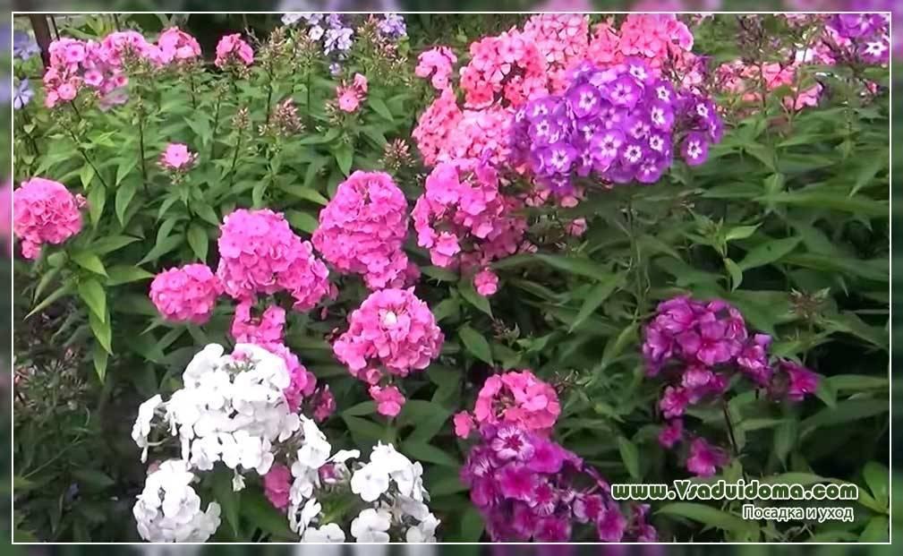 Пересадка флоксов осенью. омоложение декоративных растений: когда пересаживать флоксы?
